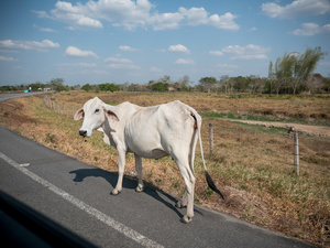 A cow seen walking on the road. Colombian cowboys taking care of the cows in the region of Casanare, eastern Colombia, between the Andes, the Orinoco River and the border with Venezuela. These are Plains and pastures with wide rivers and marshes, a region of big biodiversity. But nowadays, it is in danger because of climate change.