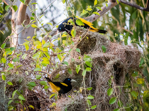 Birds seen nesting directly at the El Paraíso farm which is in the middle of the jungle. Colombian cowboys taking care of the cows in the region of Casanare, eastern Colombia, between the Andes, the Orinoco River and the border with Venezuela. These are Plains and pastures with wide rivers and marshes, a region of big biodiversity. But nowadays, it is in danger because of climate change.