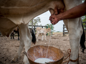 A cowboy seen milking the cows in the morning. Colombian cowboys taking care of the cows in the region of Casanare, eastern Colombia, between the Andes, the Orinoco River and the border with Venezuela. These are Plains and pastures with wide rivers and marshes, a region of big biodiversity. But nowadays, it is in danger because of climate change.
