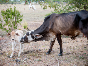 A cow and calf seen at the El Paraíso finca farm. Colombian cowboys taking care of the cows in the region of Casanare, eastern Colombia, between the Andes, the Orinoco River and the border with Venezuela. These are Plains and pastures with wide rivers and marshes, a region of big biodiversity. But nowadays, it is in danger because of climate change.