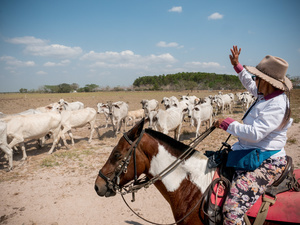 A cowboy seen working with cattle at the El Paraíso farm. Colombian cowboys taking care of the cows in the region of Casanare, eastern Colombia, between the Andes, the Orinoco River and the border with Venezuela. These are Plains and pastures with wide rivers and marshes, a region of big biodiversity. But nowadays, it is in danger because of climate change.