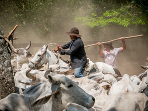 Cowboys seen working with cattle at the El Paraíso farm. Colombian cowboys taking care of the cows in the region of Casanare, eastern Colombia, between the Andes, the Orinoco River and the border with Venezuela. These are Plains and pastures with wide rivers and marshes, a region of big biodiversity. But nowadays, it is in danger because of climate change.