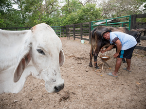 A cow boy seen milking the cow. Colombian cowboys taking care of the cows in the region of Casanare, eastern Colombia, between the Andes, the Orinoco River and the border with Venezuela. These are Plains and pastures with wide rivers and marshes, a region of big biodiversity. But nowadays, it is in danger because of climate change.