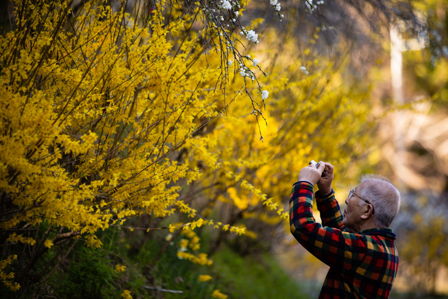 A man seen taking a photo of the weeping peach trees. Approximately 3000 weeping peaches flourish in the Asahi District's Kaminaka-cho, Toyota, Aichi prefecture, Japan. The walking paths in the area are lined with beautiful weeping peach blossoms.