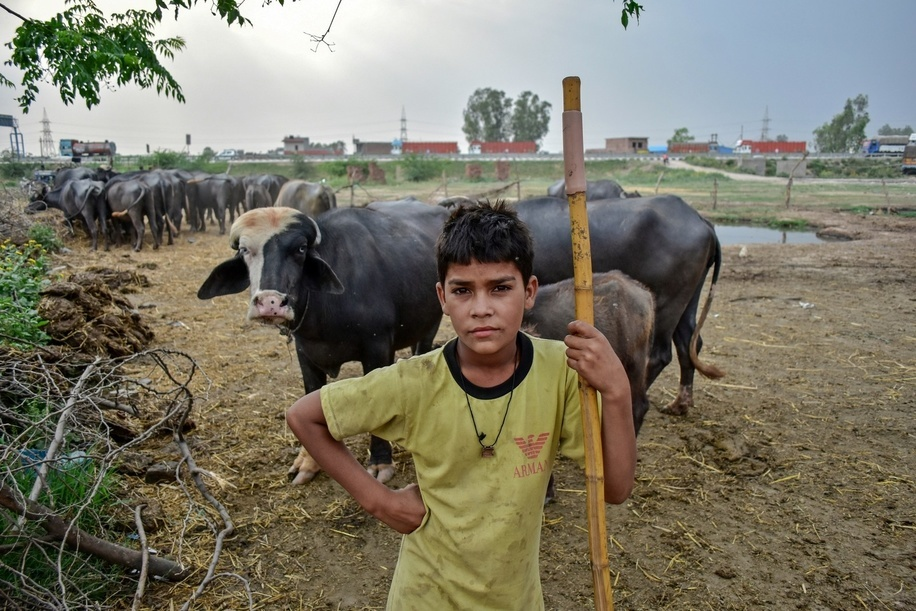 A nomad boy seen standing next to buffaloes while he keeps watch on his flock in Patiala district of Punjab, India.