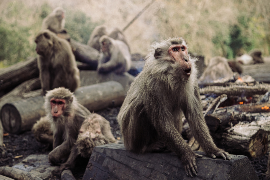 Japanese Yaku macaque monkeys sit around a bonfire to keep themselves warm at Japan Monkey Center in Inuyama.