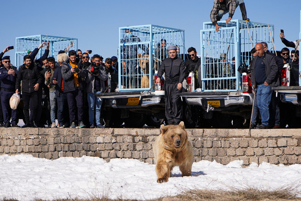 A bear walks on a snowy ground after leaving the cage amid a gathering of people. The release of six bears in Gara mountain in Duhok governorate in the Kurdistan region of Iraq, as part of an initiative of the American Kurdish Cooperation Organization to protect bears from extinction, beautify the nature in the area, and save bears from captivity in homes where they were brought from Basra and Maysan provinces in southern Iraq.