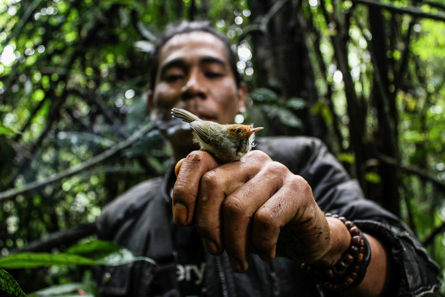 Dedi Langlangbuana displays a Perenjak Bird that was caught in Kareumbi forest. Dedi Langlangbuana and Cecep Kenzi have worked as hunters of song birds for 21 years in the forest. They trap the birds using a special net that is placed on top of the trees at a height of around 30 meters. One tree have about fifteen nets and the length of one net is three meters. In one catch they can get 50 to 100 of song birds. The average price of these birds ranges from $0,70USD to $278USD or even more according to the type of bird.