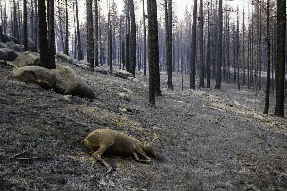 A deer lies dead in the forest in the aftermath of the Dixie fire. The Dixie fire continues to grow, Cal Fire reports that the Dixie Fire has now spread over 710,000 acres. The cause of the fire is still under investigation.