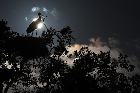 A stork seen on a tree in the city of Madrid, Spain, where they easily find food in garbage dumps.  White Storks (Ciconia ciconia) have stopped their annual migration from Northern Europe to Africa, to stay in Spain and Portugal for winter.