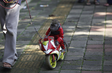 """Boy, a long-tailed monkey seen riding a small wooden motorcycle during the street performance. """"Topeng Monyet"""" means a monkey Mask and it's also a traditional street circus in Indonesia where captive monkeys are forced to do tricks in hopes of being rewarded with money from residents. Indonesian animal charities argue that prohibited practices and the conditions are as cruel and violating animal rights."""