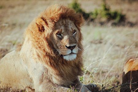 A Lion seen resting at Masai Mara National Reserve in Kenya. Maasai mara national reserve is an area of preserved savannah in southernwestern Kenya.