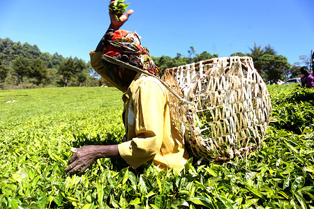 A woman worker seen plucking tea-leaves at the Nyayo Tea Zone in Nyeri County. The farm is a state corporation producing and processing tea leaves. Kenyan tea is some of the best quality black tea in the world, winning international acclaim for its taste and aroma. Kenyan tea has gained recognition in markets across the world exporting to USA and other countries in Europe and Asia. Its popularity rose because of proven higher levels of antioxidants compared to tea produced in other parts of the world.