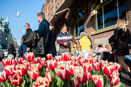 Tulips are seen growing at the centre of the city during a sunny day. After the gloom and grey skies, the sun showed up with temperatures around 17-20 degrees. In Amsterdam, thousands of tourists enjoyed the spring weather around the centre of the Dutch city.