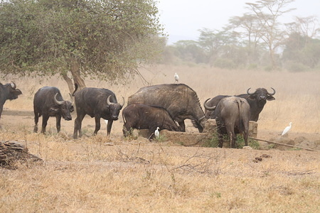 Buffaloes are seen looking for water at Lake Nakuru National Park located about 150 km Northwest of Nairobi capital.  More than ten buffaloes have been reported dead  as a result of an anthrax outbreak. Anthrax is an  infectious disease that affects cattle and wild game, humans can become infected through contact with an infected animal. A Park official has blamed current dry weather for the outbreak; at risk of infection is the near threatened Southern white rhinoceros.