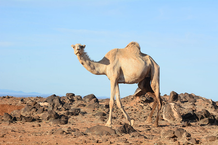 A camel seen headed for the arid grazing fields in Marsabit County, Northern Kenya.Although it is the largest region in Kenya, Northern Kenya residents have not fully enjoyed the potential of massive resources available across the county.