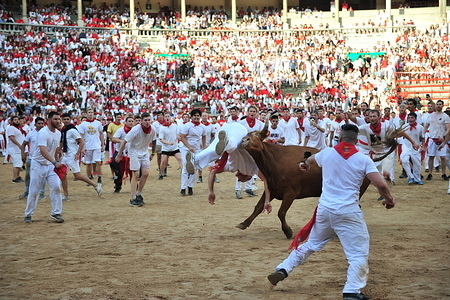 A heifer from a Cebada Gago ranch flips a reveller in the bullring during the Festival. San Fermín Festival: The Running of the Bulls, or Encierro, takes place in the morning of the second day of the San Fermín festival. After a long and eventful first day commencing the festival, including the opening ceremonies, the Running of the Bulls comes in a flash.
