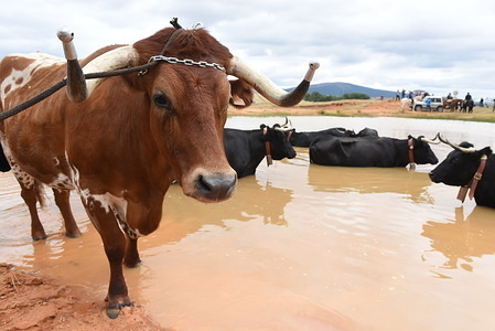 Cows and oxes cool off in water during the festival. The village of Noviercas, Soria province, north of Spain, celebrates the Livestock transhumance festival in defense of ancient grazing and to promote the conservation of the 'cañadas' (ancient paths for transhumance). The number of herds of cows and oxes in this Spanish province have declined between a 90% and 95% in the last the decades due to advanced age of the shepherds and ranchers, the depopulation, and the high production costs. Livestock transhumance is a millenary tradition for herders to find better weather conditions and natural pasture during winter and summer for their animals.