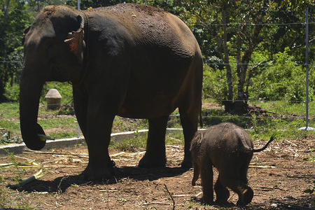 A baby Sumatran elephant with his mother at the Alue Kuyun Conservation Response Unit (CRU) in Meulaboh, Ache province. Sumatran elephants are a critically endangered species and face threats from poaching and rampant deforestation, environment ministry estimating only around 500 remain in Aceh.
