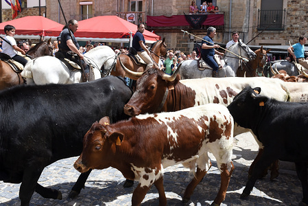 A herd of Serrana Soriana cows seen during the festival. The village of Almarza, Soria province, north of Spain, celebrates a transhumance of cows in defense of the cow endangered species Serrana Soriana, which is native to this region. The number of herds of Serrana Soriana cows in this Spanish province have declined between a 95% and 98% in the last decades due to advanced age of the shepherds and ranchers, the depopulation, and the high production costs.