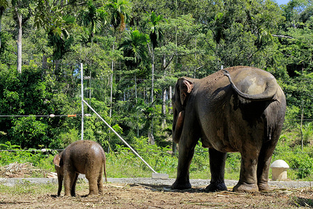 A baby Sumatran elephant, Yuyun with his mother at the Alue Kuyun Conservation Response Unit (CRU) in Meulaboh, Aceh province. Sumatran elephants are a critically endangered species and face threats from poaching and rampant deforestation, environment ministry estimating only around 500 remain in Aceh.