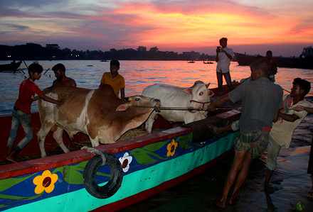 Traders offload cattle from a boat at Postogola in Dhaka on the bank of the Buriganga, where a makeshift market of sacrificial animals has been set up ahead of Eid-ul-Azha.