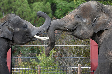 The Sumatran elephants 'Valentino' (right) and 'Bogor' playing in their enclosure at Madrid zoo. The Sumatran elephant (Elephas maximus sumatranus) is classified as critically endangered by IUCN after losing nearly 70 per cent of its habitat and half its population in one generation. The decline is largely because of elephant habitat being deforested or converted for agricultural plantations. They feed on a variety of plants and deposit seeds wherever they go, contributing to a healthy forest ecosystem.