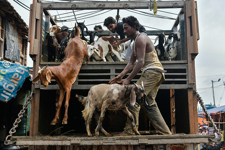 Sellers off load goats from a truck at a livestock market ahead of Eid Al-Adha festival in Kolkata. Eid Al Adha is a festival in Islam also known as the festival of sacrifice.