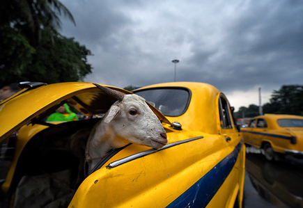 A goat seen inside the car boot after being purchased from the livestock market ahead of Eid Al-Adha festival at kolkata . Muslims celebrate Eid Al-Adha also called 'Sacrifice Feast' or 'Bakr-Eid', which is the second of the two Muslims holidays in the Islamic lunar calendar celebrated worldwide every year and as well considered as the holier of the two, it honors the goodwill Abraham to sacrifice his son as an act of submission to God, marking the end of the annual Hajj to the Saudi city of Mecca.