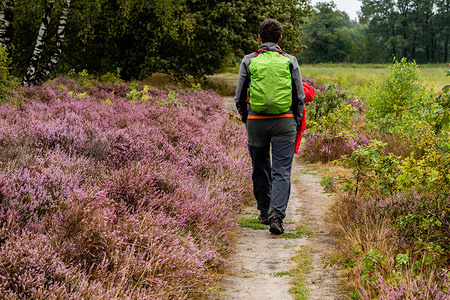 A man walks through purple heather flowers. The Waarrecht is a Natural estate in the Overijssel area. From early August, a large part of the Netherlands turns purple once the heather plants start blooming. The spectacular blooming heather can be seen in many places: near the coast, in forested areas and in sandy areas. Though this year, seeing Holland's heather fields in bloom has proven to be quite a challenge, as the summer was very dry.