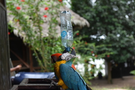 A macaw drinks water from a plastic bottle at the hotel garden on the banks of Madre de Dios river in Puerto Maldonado.