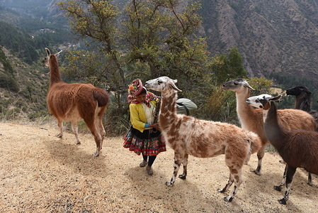 A villager of Chacachaca community is seen with her flock of Llamas at the Pumahuanca valley, inside the Urubamba mountain range. Pure breed Llamas (Lama glama), a fundamental animal for local economy, and considered as sacred, during the Inca Empire, have almost disappeared in this Peruvian region. Currently, llama breeding is practiced mainly only by one few families of high-Andean communities.