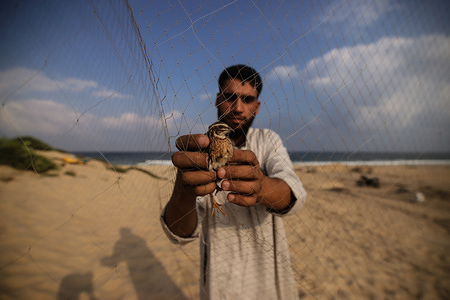 A Palestinian man removes migrant quails at the beach of Khan Younis in the southern Gaza Strip. Palestinians placed hundreds of meters of nets along the Gaza coast to search for quail.