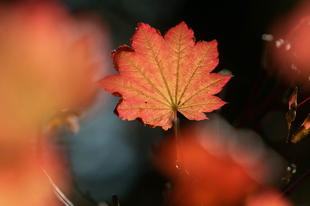 The leaf of a tree is lit up in backlight of the autumn sun in London.
