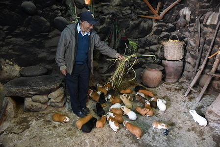 A man is seen feeding his Guinea pigs in Ollantaytambo.