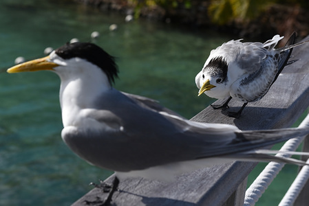 Royal terns on a bridge railing in Moorea Island. The royal tern (Thalasseus maximus) is a large tern with pointed wings and forked tail. It has a red-orange bill and a black crested head during the breeding season, but in the winter it becomes patchy. Royal terns eat small fish, shrimp and crustaceans.