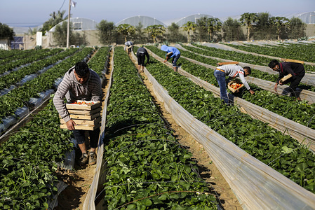 Palestinians pick strawberries at a farm, in Beit Lahyia, northern Gaza Strip. The Gaza farmers hope to export 1,100 tons of strawberries to Europe, Israel, West Bank through a partly eased Israeli blockade at Gaza borders.