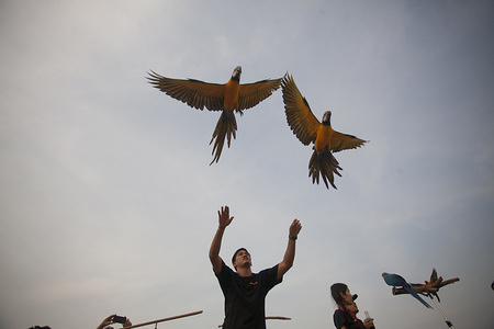 Participant releasing parrots during the event. Various parrot lover groups Organised an independent flying parrot release activities where each parrot is expected to return to the release point which requires expertise and training time.