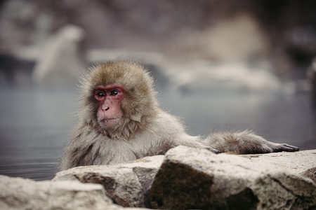 A Japanese macaque enjoys a hot spring. Jigokudani Yaen-koen was opened in 1964 and it's known to be the only place in the world where monkeys bathe in hot springs. The Jigokudani Yaen-koen (altitude 850 meters) is located in the Valley of Yokoyu River sourced from Shiga-Kogen of the Joshinetsu-Kogen National Park in northern part of Nagano prefecture.