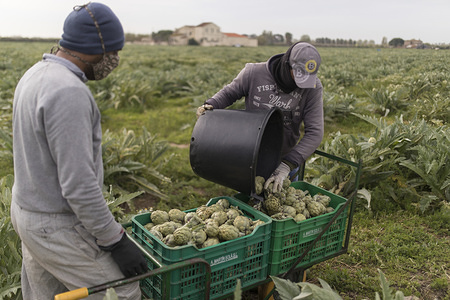 Workers organise boxes of artichokes in a field near the airport. The coronavirus crisis and the closing of borders are leaving Spanish fields without labour. The fruit harvesting season is approaching and the agricultural organisations estimated that they will need 100,000 people to work.