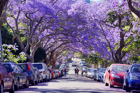 Tunnel formed by Jacaranda trees. Australia's beautiful jacaranda trees have bloomed for the spring during late October to mid November in Sydney.