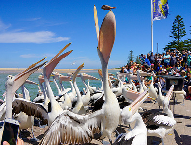 A pelican seen swallowing a small fish that's feed from the beach. Pelicans are one of the popular attractions for tourists at the Entrance waterfront in Central Coast. Every afternoon, all the pelicans come and wait to be feed here.