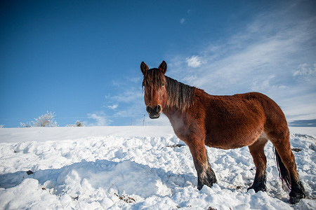 Pottokas seen grazing in the fields of the Pyrenees of Navarra covered with snow. Pottoka is a mare that was formerly used to work in the fields, now it is mainly used for meat.