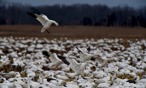 Adult Juveniles and snow geese land in a farm to search for food. Every year thousands of snow geese migrate to Delaware to avoid the harsh arctic winters.