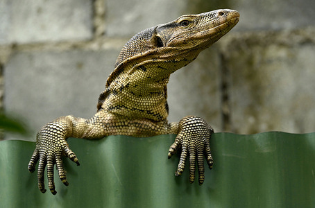 A lizard peers over a fence in downtown Bangkok. Monitor lizards are reptiles that come under the genus Varanus, they have long necks, strong tails, claws and well developed limbs.