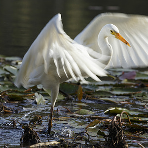 Intermediate Egret (Ardea intermedia) flaps its wings in the  water at Enoggera Reservoir within D'Aguilar National Park.
