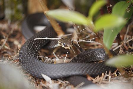 Marsh Snake (Hemiaspis signata) basking in the sun at  Lamington National Park in Gold Coast.