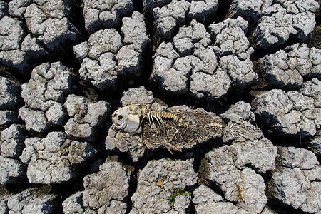 A dead fish laying on the cracking earth of a dry lake bed.  Nevada continues to suffer through a drought.