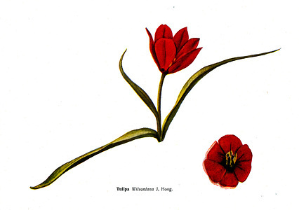 """Circa 1935. Tukipa Wilsoniana J Hoog - an illustration from the book """"Species of flowers bulbes of the Soviet Union"""""""