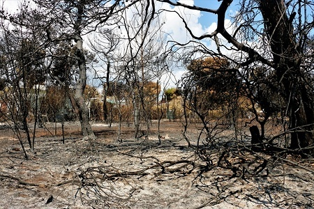 Trees that were destroyed by the fires. A visit to a destroyed site by forest fires of the Mati region of Athens.